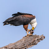 African Fish Eagle (2)