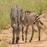 Grant's Zebra (3)