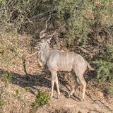 Greater Kudu (3)