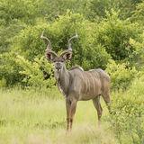 Greater Kudu (1)