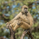 Yellow Baboon (2)