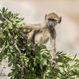 Yellow Baboon (3)