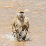 Yellow Baboon (4)