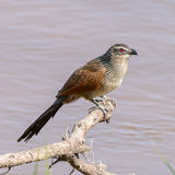 White-browed Coucal (1)