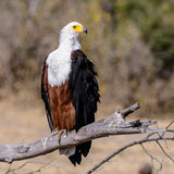 African Fish Eagle (1)