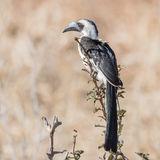 Von der Decken's Hornbill (1)