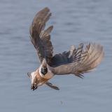 Bare-faced Go-away Bird (2)
