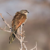 White-browed Coucal (2)