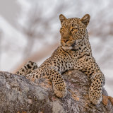 African Leopard (3)