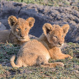 African Lion (cubs)