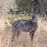 Defassa Waterbuck (male)