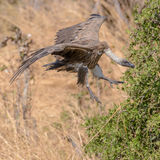 White-backed Vulture (1)