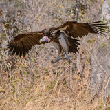 Lappet-faced Vulture (2)