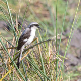 Grey-backed Fiscal Shrike