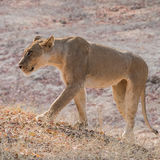 African Lion (2)