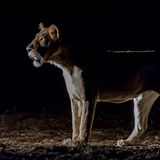 African Lion (5)