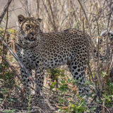 African Leopard (4)