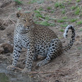 African Leopard (5)
