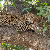 African Leopard (6)