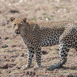 African Leopard (7)