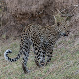African Leopard (8)