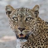 African Leopard (10)