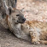 Spotted Hyaena (1)