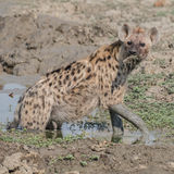 Spotted Hyaena (3)