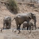 African Elephant (2)