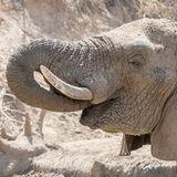 African Elephant (4)