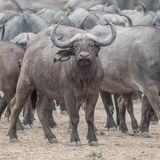 Cape Buffalo (3)
