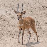 Bushbuck (1)