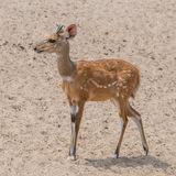 Bushbuck (2)