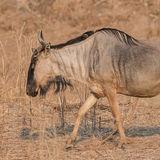 Cookson's Wildebeest (1)