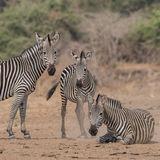 Crawshay's Zebra (1)