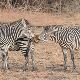 Crawshay's Zebra (2)