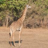 Thornicroft Giraffe (2)