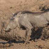 Common Warthog (2)