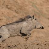Common Warthog (3)