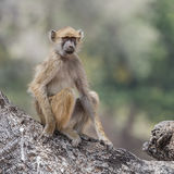 Yellow Baboon (1)