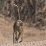 Yellow Baboon (2)