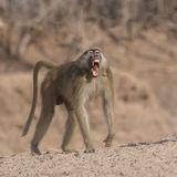 Yellow Baboon (3)