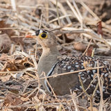 Double-banded Sandgrouse (2)