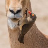 Red-billed Oxpecker (1)