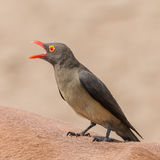 Red-billed Oxpecker (2)