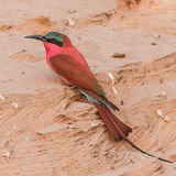 Southern Carmine Bee-eater (1)