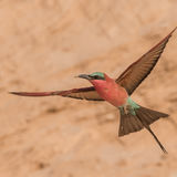 Southern Carmine Bee-eater (2)