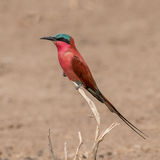 Southern Carmine Bee-eater (3)