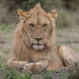 African Lion (1)