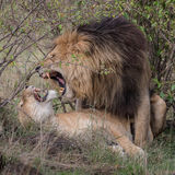 African Lion (3)